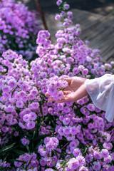Wall Mural - Women's hands touch purple flowers in the fields.