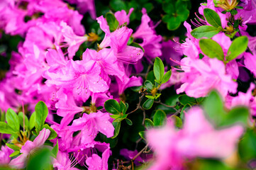 Purple flowers with azalea water drops.