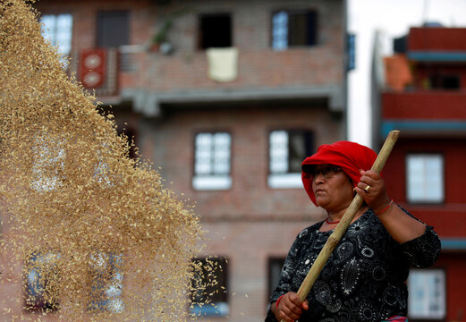 A farmer dries paddy rice grains in the sun, after the harvest in Bhaktapur