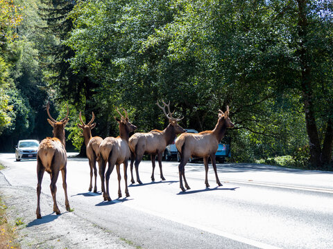 Adult bull Roosevelt elks (Cervus canadensis roosevelti), in rut near Highway 101, California