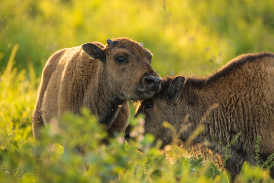 Bison calves (plains bison) in a prairie meadow at sunset, Elk Island National Park, Alberta, Canada