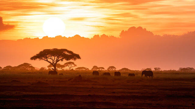 A herd of African elephants walking in Amboseli at sunset