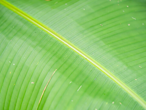 Abstract nature background concept of diagonal striped and line pattern of green banana leaf gradient texture.
