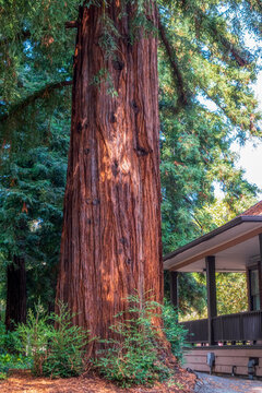 Big redwood tree near a house in Twin Pines Park, Belmont, California