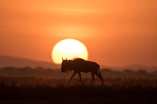 African safari in red dawn sunrise