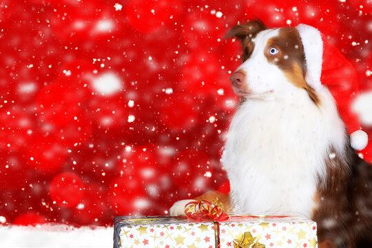 Australian Shepherd mit Weihnachtsmütze und Weihnachtsgeschenk