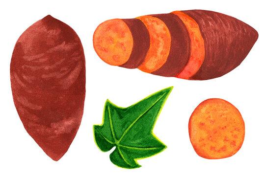 Sweet potato watercolor set isolated on white background. Whole batata, chopped, slice elements with leaf. Organic veggies