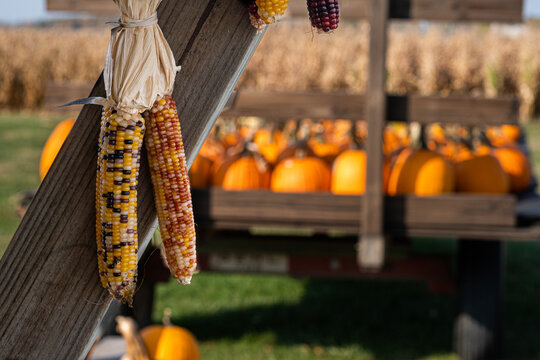 Bundle of Indian corn hanging with a wagon full of pumpins in the background