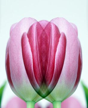 Tulipa vulvatica