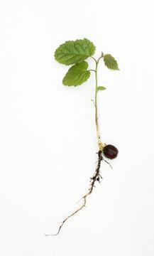 Hazelnut seedling