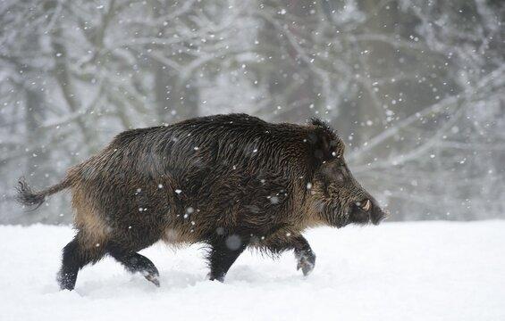 Wild boar (Sus scrofa) in the snow