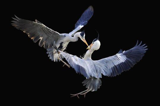 Grey Herons (Ardea cinerea), flying, fighting over chick prey