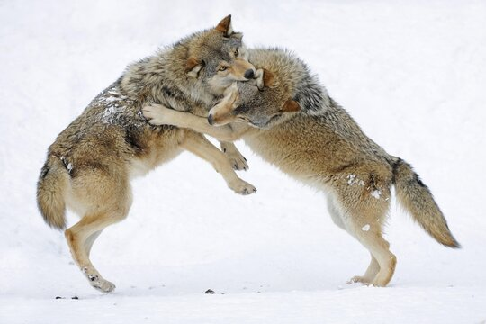 Fighting, playing wolves, cub, Mackenzie Wolf, Alaskan Tundra Wolf or Canadian Timber Wolf (Canis lupus lycaon) in the snow