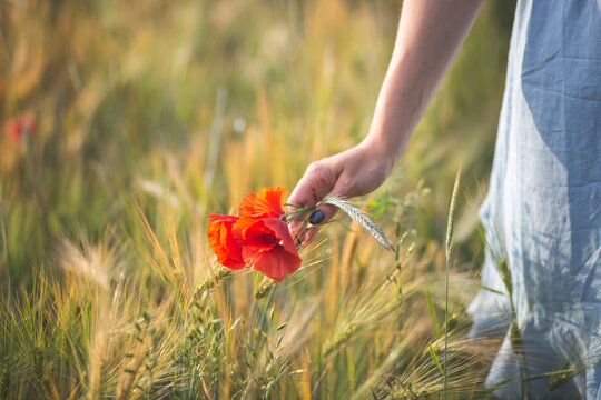 Young woman hand's picking blossom poppy flower in agricultural field