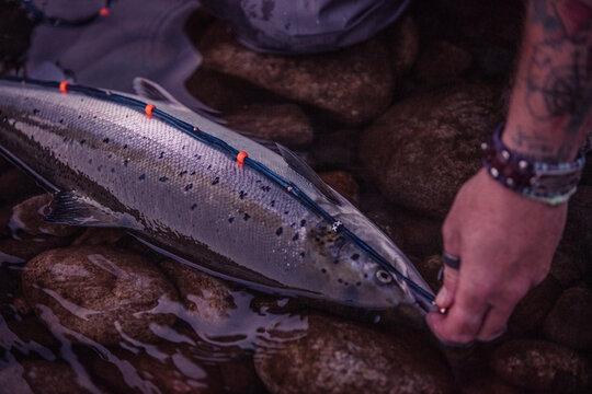 Fly fisherman hand measuring salmon fish at riverbank