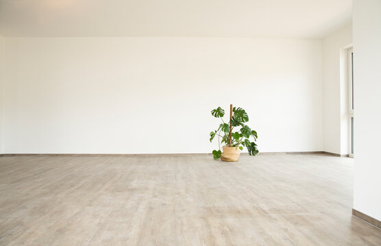 Monstera deliciosa on floor against white wall in new empty house