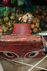 A dog is resting on a pile of coconuts on an old riverboat with big eyes painted on its bow in a Saigon floating market