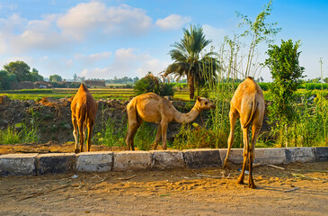 The camel colts, Upper Egypt