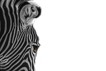closeup of a zebra on a white background