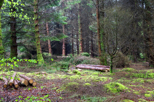 Mossy woodland at Langlands Moss Local Nature Reserve in East Kilbride, South Lanarkshire, Scotland.