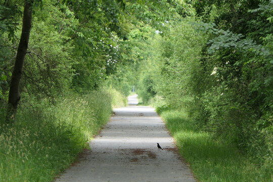 Lonely path through the forest. A black bird sits on a never ending straight path through the forest.