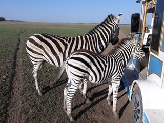 Two zebras near tourist transport in the Askania Nova nature reserve.