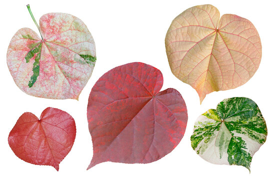 Colorful foliage heart shaped leaves isolated on white background with clipping path.