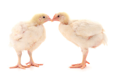 Two chicken or young broiler chickens.