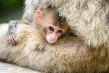 Portrait of Baby Japanese snow monkey in mother stomach