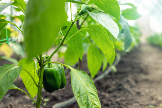 Close-up of big raw young ripe tasty juicy green bell pepper growing in vegetable garden or farm greenhouse on bright sunny summer or spring day. Healthy nutrition vitamin diet food background