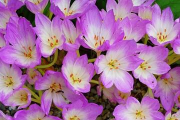 Pink autumn crocus flowers with orange filaments