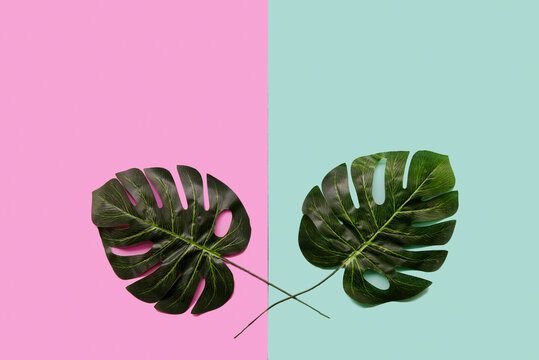 Background Concept. Monstera leave on green and pink background.  Top view and copy space