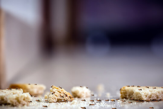 line of ants inside the house, on bread crumbs lying on the floor. Bran debris, dirt, insect pest problems inside the apartment