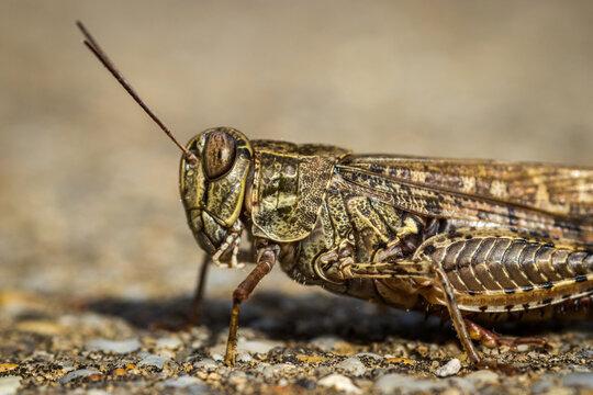 Locust close up macro portrait