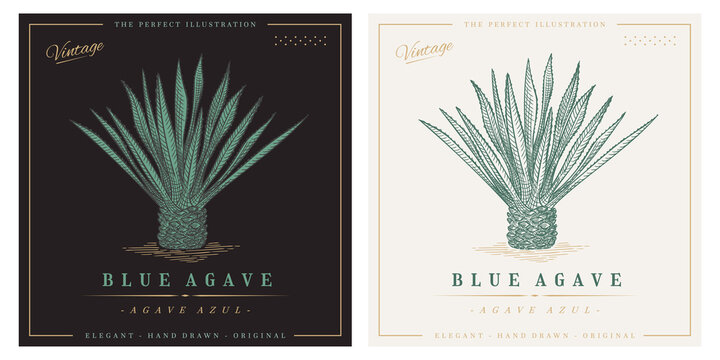 Blue agave azul vintage retro detailed engraved style illustration. Agave tequilana