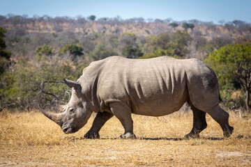 Horizontal portrait of white rhino walking in dry bush in Kruger Park in South Africa