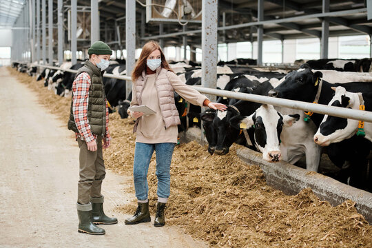 Experienced female farmer in mask holding tablet and pointing at cow while explaining task to teenage son in cowshed
