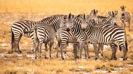 zebras in serengeti national park city