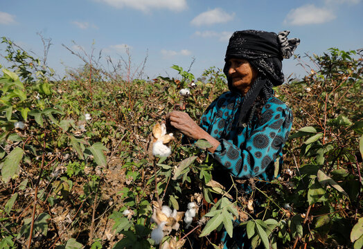 Thoraya, 80 years old farmer harvests cotton for 5 $ per day in a field in the province of Al-Sharkia northeast of Cairo