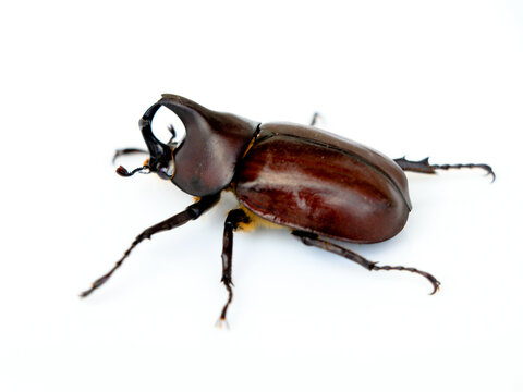 Asiatic rhinoceros beetle or coconut rhinoceros beetle against white background