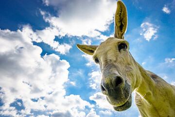 nice donkey at the european alps