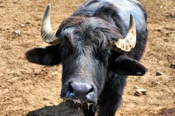 buffalo at a farm