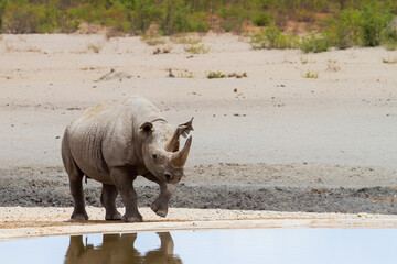 Black rhino bull standing at a waterhole in the western part of Etosha National Park in Namibia