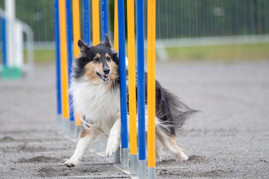 Rough Collie doing slalom on dog agility course