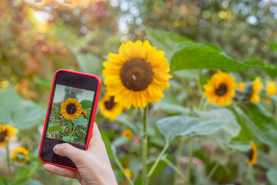 Female hand with mobile phone, making photo of bright sunflower blooming in the field on smartphone, selective focus. Modern technology.