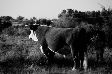 Wall Mural - Hereford bull at fence looking away.