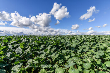 Agricultural landscape of field with green organic fertilizer plants and blue sky with clouds. Selective focus.
