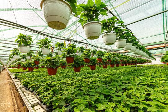 Poinsettia growing in pots