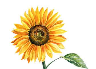 Fototapeta Sunflower isolated on white background, watercolor botanical illustration, hand drawing, yellow flower