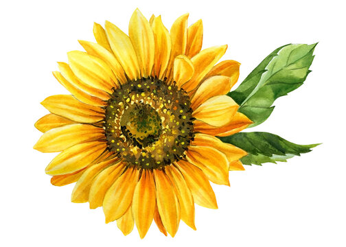 Sunflower isolated on white background, watercolor botanical illustration, hand drawing, yellow flower